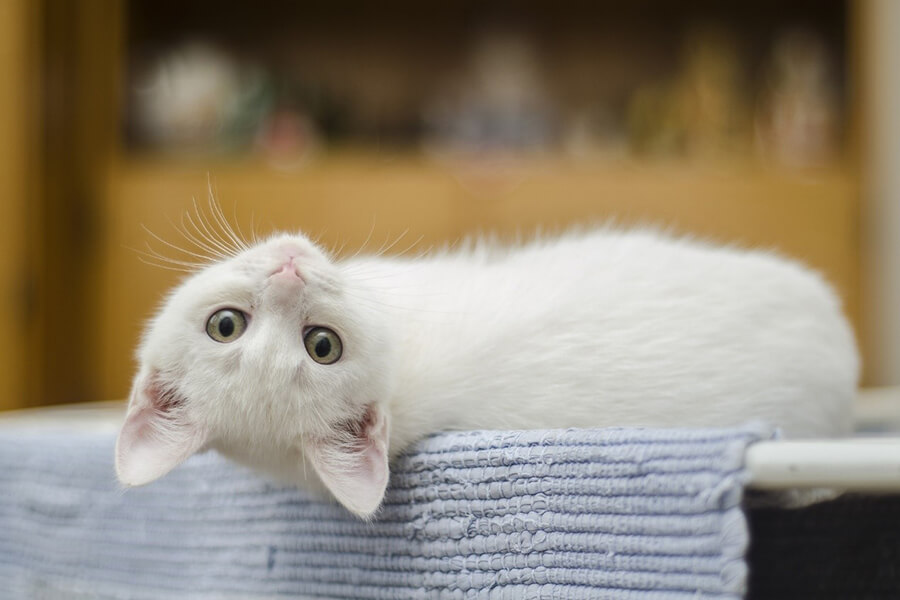 Gato Branco - Representado 'CAT Tools'